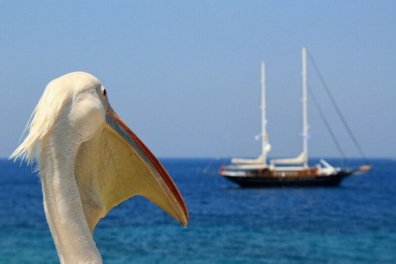 kako je jedan pelikan postao maskota ostrva mikonos header grckaisrbija